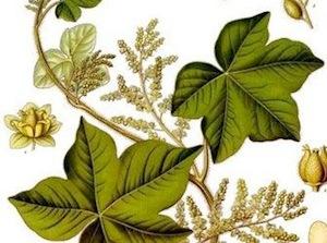 Planta Africana