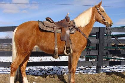 Smooth Natural Gaited Tennessee caminando caballos en el clasificado para atraer clientes