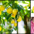 The Power of Lemons and The Diseases It Can Destroy As A Home Remedy