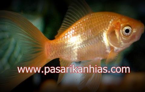 Ikan hias Mas Koki Hanafusa