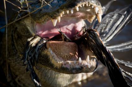 crocodile eating a bird