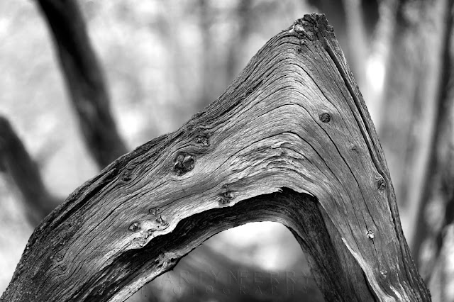 Monochrome close up image of part of an ancient tree at Hayley Wood Nature Reserve