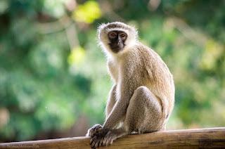 Monkey dream meaning