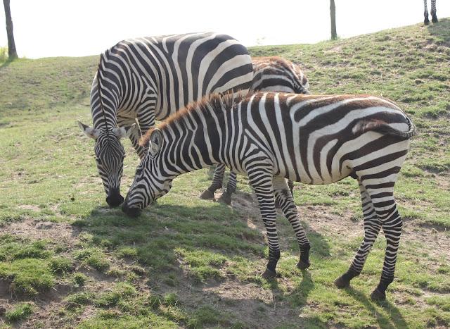 IMG 3898 - Wildlands Adventure Zoo Emmen
