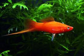 WINDOW OF KNOWLEDGE: INDIAN ORNAMENTAL FISH