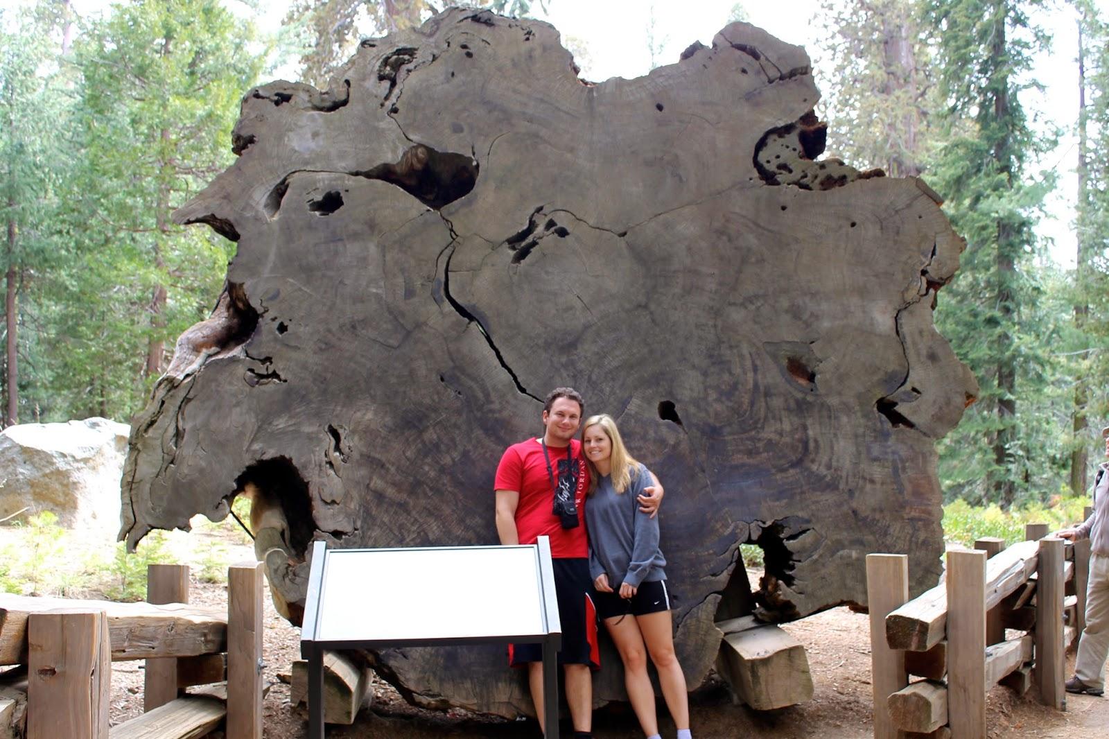 grosser mammutbaum der welt