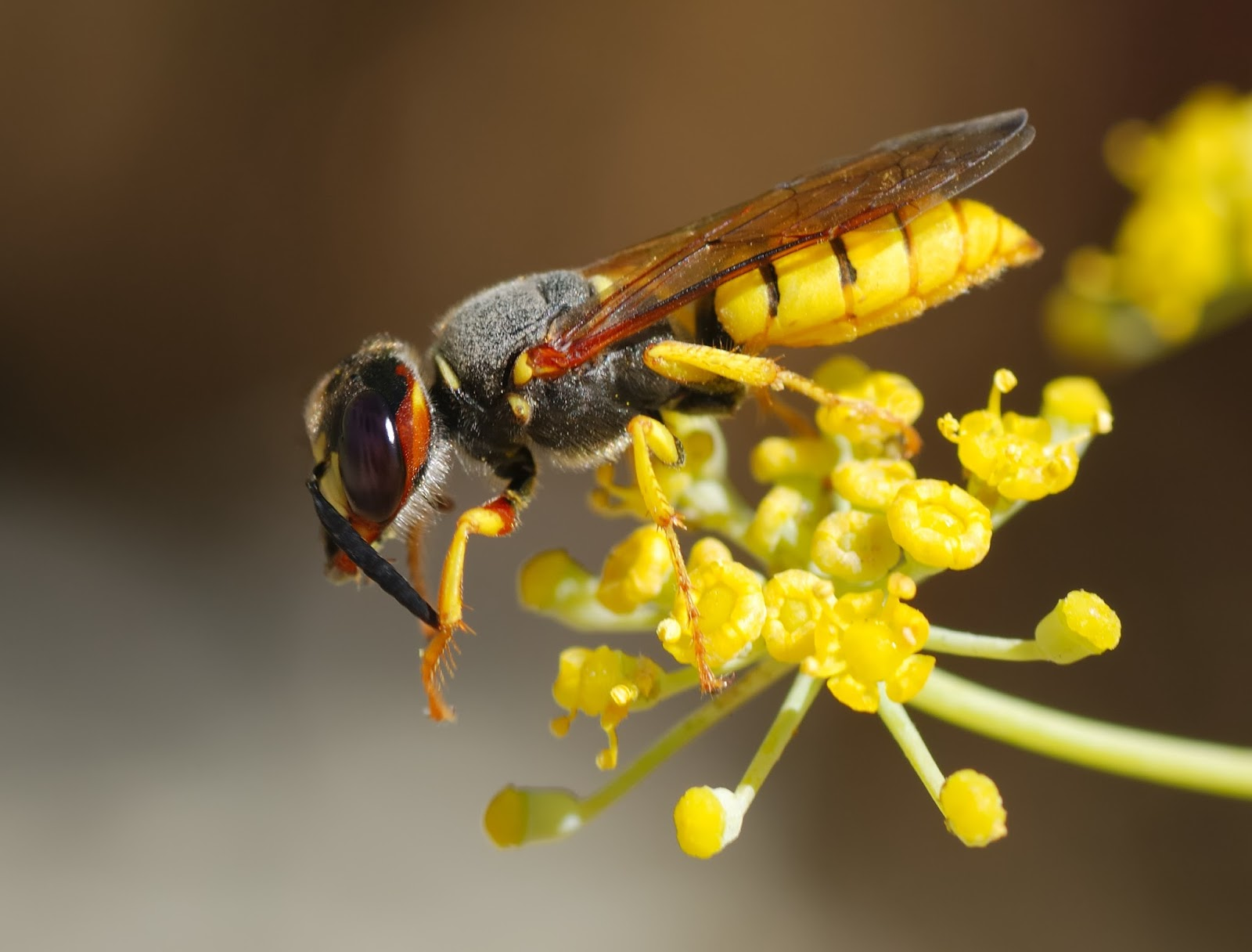 Picture of a beewolf wasp.