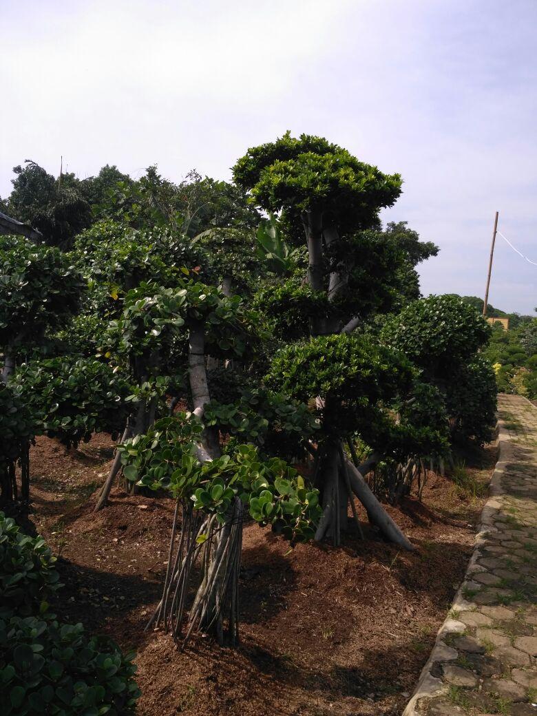 Pusat Tanaman Hias Depok Penjual Pohon Hias Bonsai Beringin