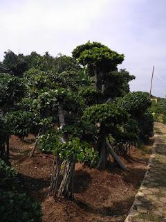 Jual pohon bonsai beringin korea depok