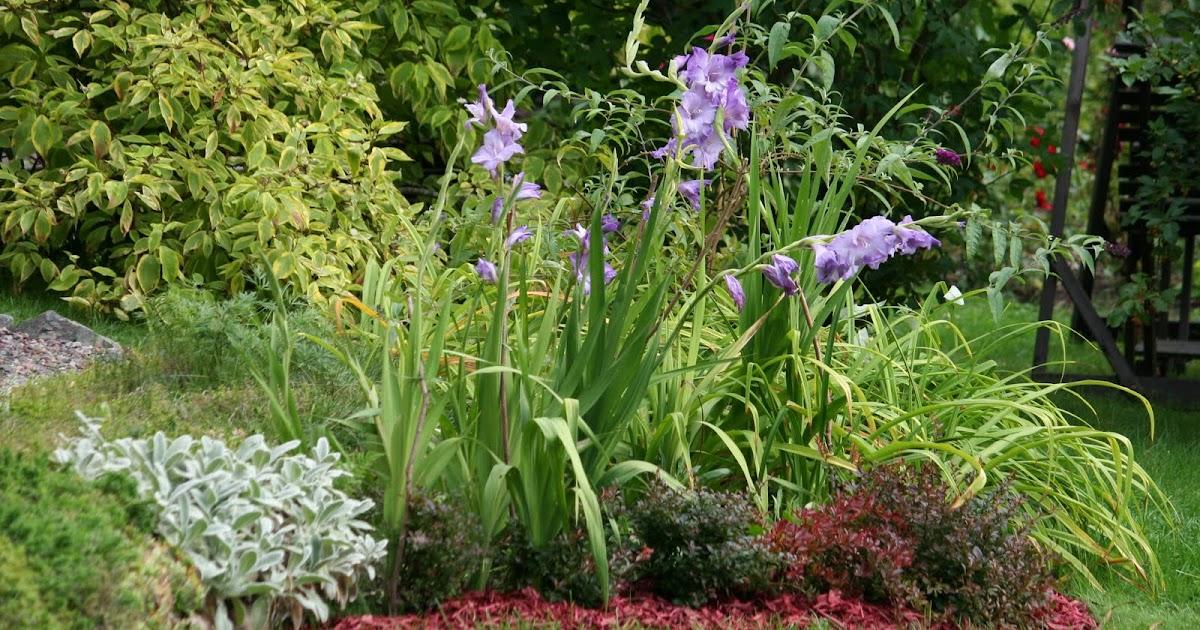 Sarin puutarhat: Gladiolukset ja kirsikanpunainen koristekate