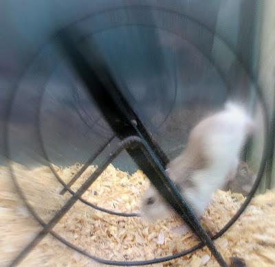 la carrera del ratón