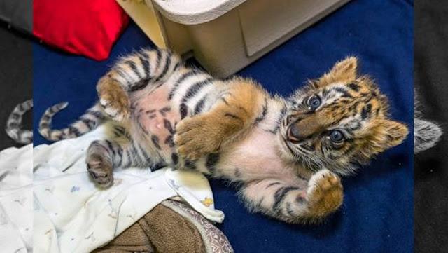 Decomisan cachorro de tigre vendido en calles de Tijuana