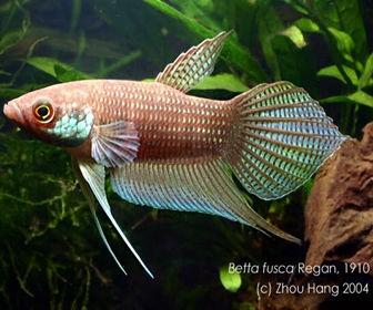 Jenis Ikan Cupang Spesies Betta Betta Fusca
