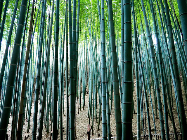 Looking through the bamboo forest in Boseong Green Tea Plantation, South Korea