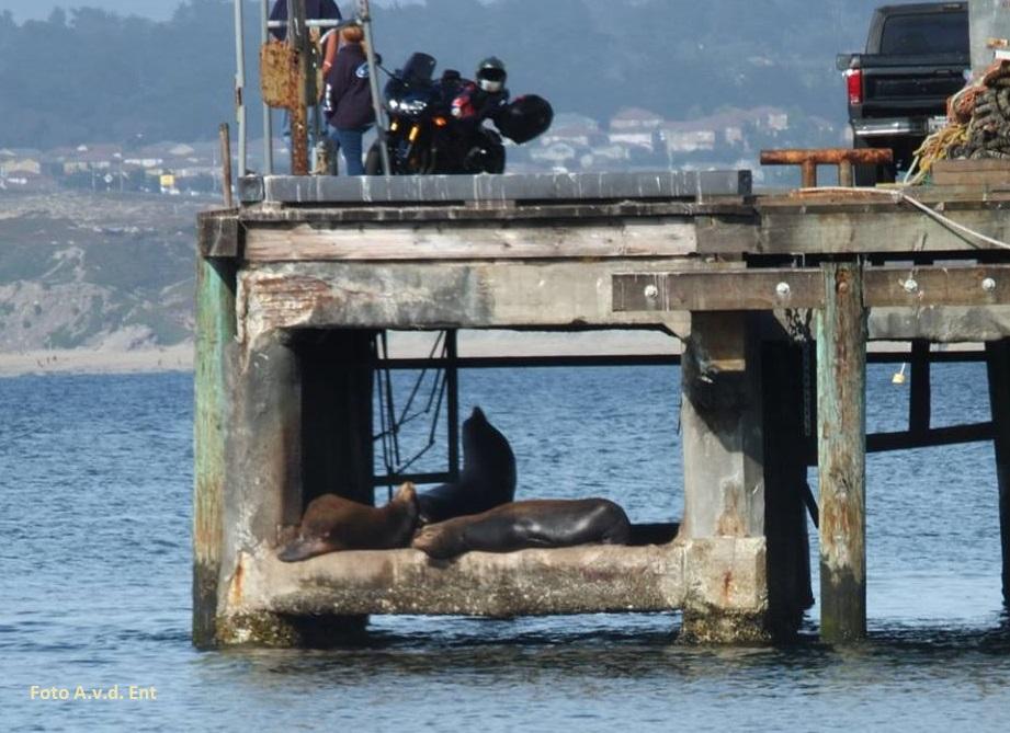 Californische Zeeleeuwen