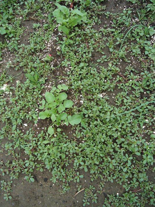 Growing Purslane How To Grow Edible Purslane In The Garden: Small Purse, Big Garden: Purslane Stir Fry....dig In