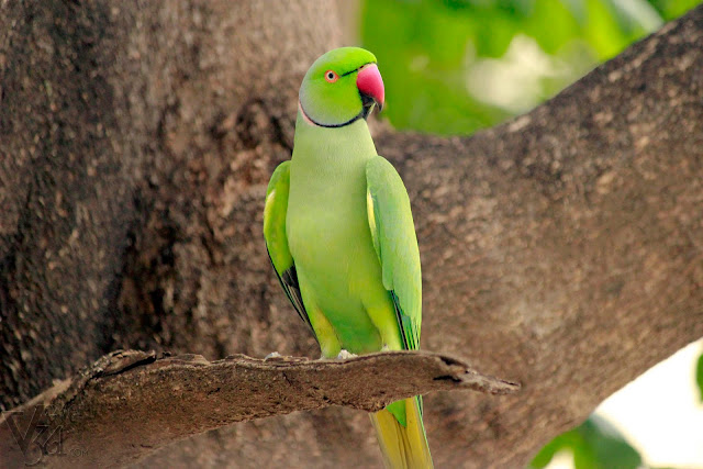 Rose ringed parakeet(40 cm) Male - Bengaluru