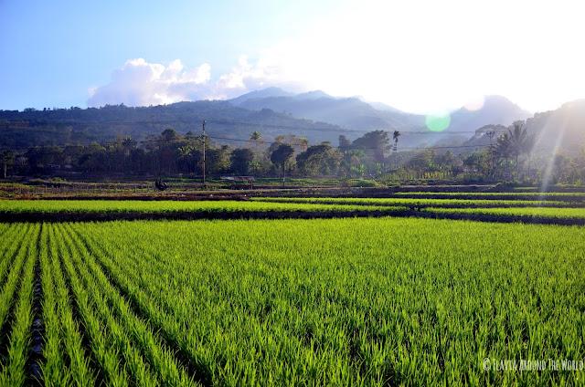 Campos de arroz de Moni