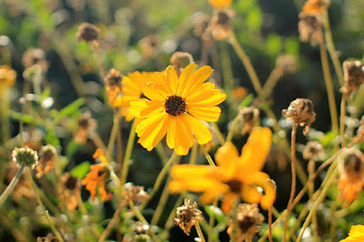 Brown-eyed Susans - Flower Photography by Mademoiselle Mermaid.