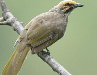Jenis Burung Cucak Rowo Dari Lampung