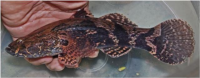 ikan mahal, harga ikan betutu, manfaat ikan betutu