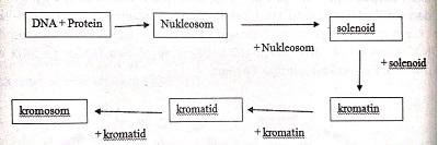 Struktur padat kromosom
