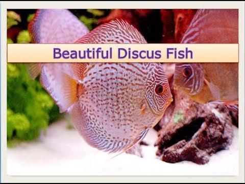 Discus fish (Symphysodon aequifasciatus)