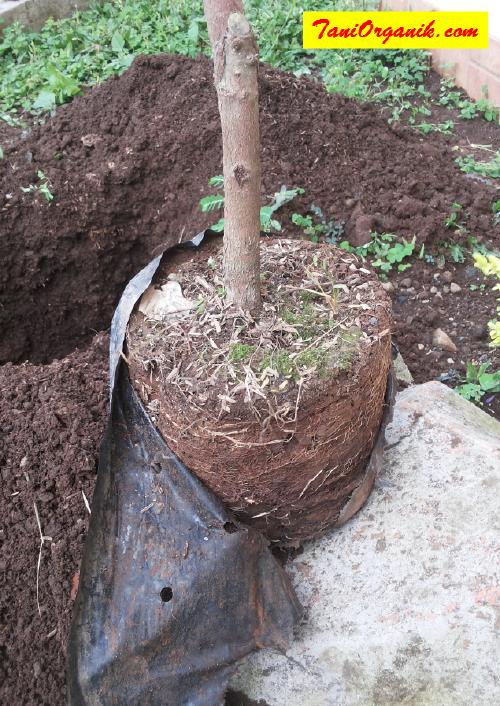 Cara Menanam Bibit Jambu Air Madu Deli Tanpa Kompos atau Pupuk Kandang