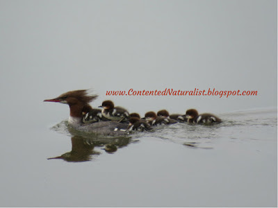Female Common Merganser swims on still, gray water, with four fuzzy ducklings riding on her back and three more behind.