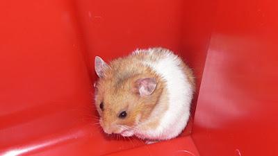 Hamster Campbell Kerdil