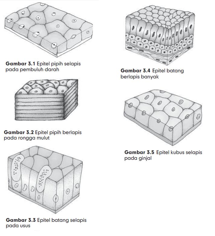 Struktur Jaringan Epitel Pipih Berlapis Banyak