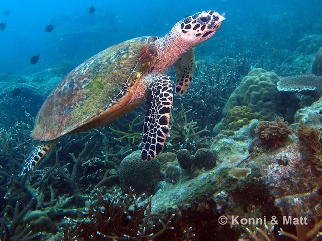 Green sea turtle, tioman island,