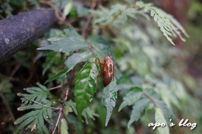 白蘭溪古道上的生態-蟬蛻