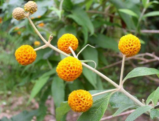 Buddleja Madagascariensis (Orange Buddleia) indoor plant