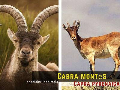 La Cabra montés o Montesa, Capra pyrenaica, es un bóvino con varias razas.