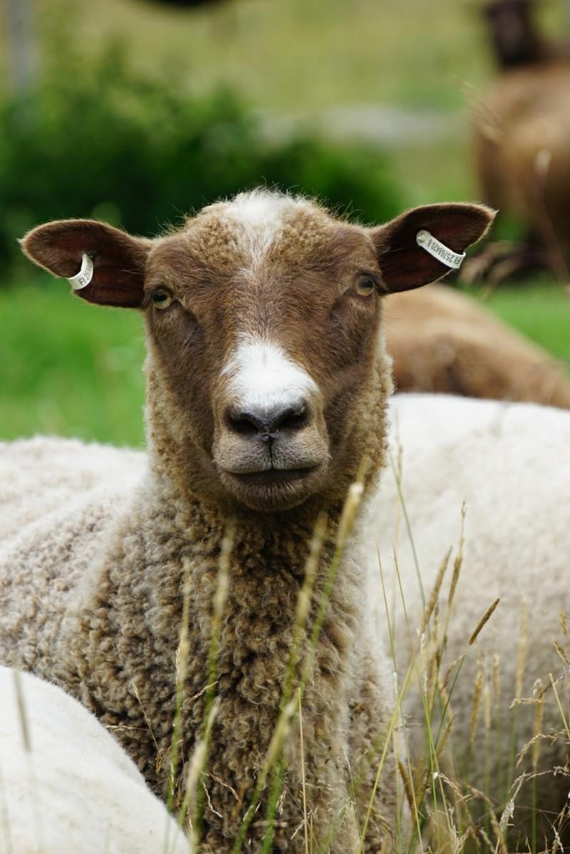 lammas, kesälammas, kotieläin