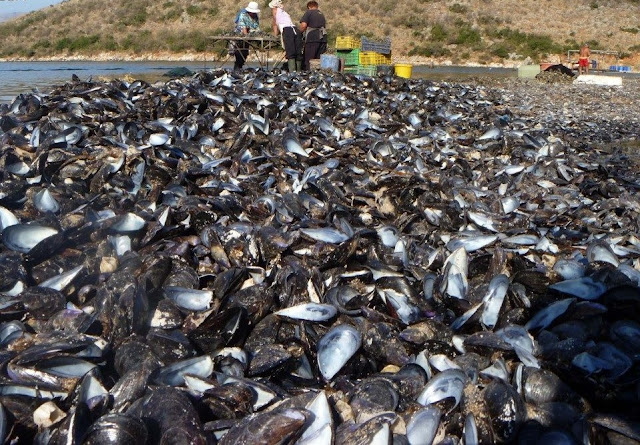 Large quantity of mussles dying in Butrint Lake due to high temperatures