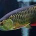 Penyakit yang Sering Terjadi Pada Ikan Arwana dan Cara Penanggulangannya
