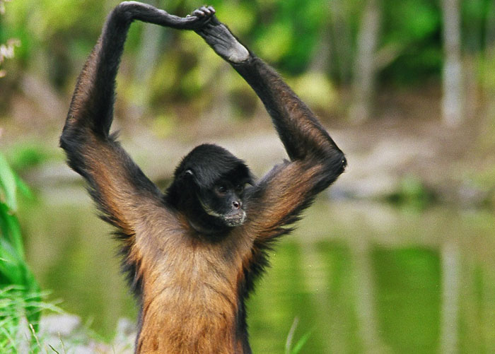 Cute Man Pictures Wallpaper Funny Spider Monkey Funny Animals
