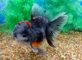 Gambar ikan mas koki di akuarium
