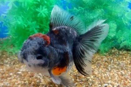 Cara Memilih Ikan Mas Koki yang Bagus untuk Dipelihara