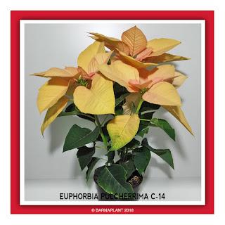 Poinsettia-Euphorbia-Pulcherrima-C14-Colores-02-2018