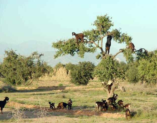 Goats on and around an argan tree near Taroudannt, Morocco