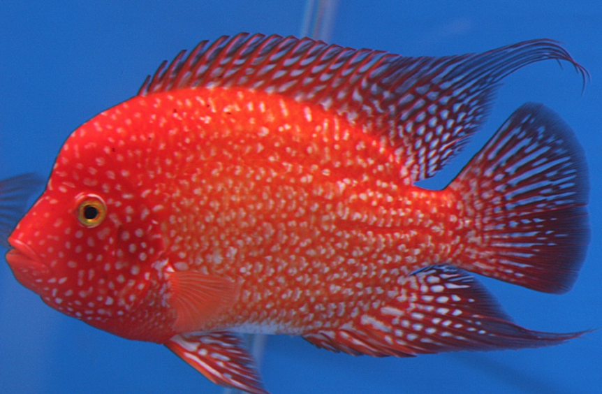 types of arowana fish, arowana fish, arowana fish types