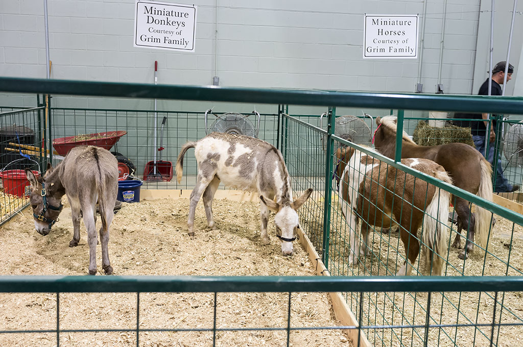 Miniature Donkeys and Horses at the York Fair