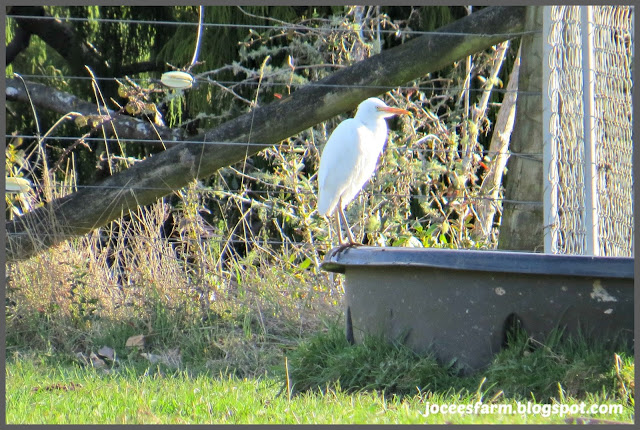 Cattle Egret @ Jocees Farm