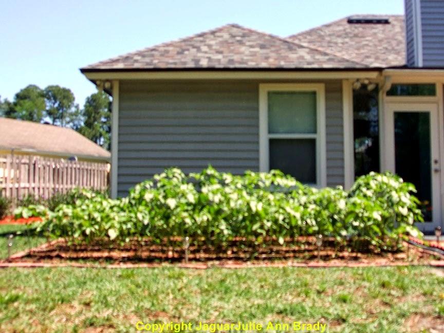 My Second Sunflower Garden at 51 Days ~ JaguarJulie