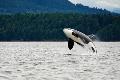 Killer whale breaching in Atlantic waters in July