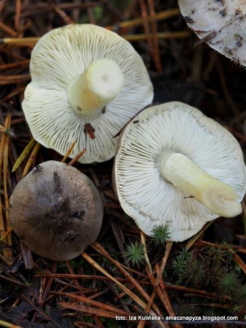 gaska siwa, gaska nieksztaltna, siwula, grzyby jadalne, atlas grzybow, jaki to grzyb, grzybobranie