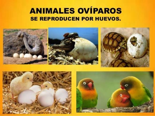 Animales Ovíparos